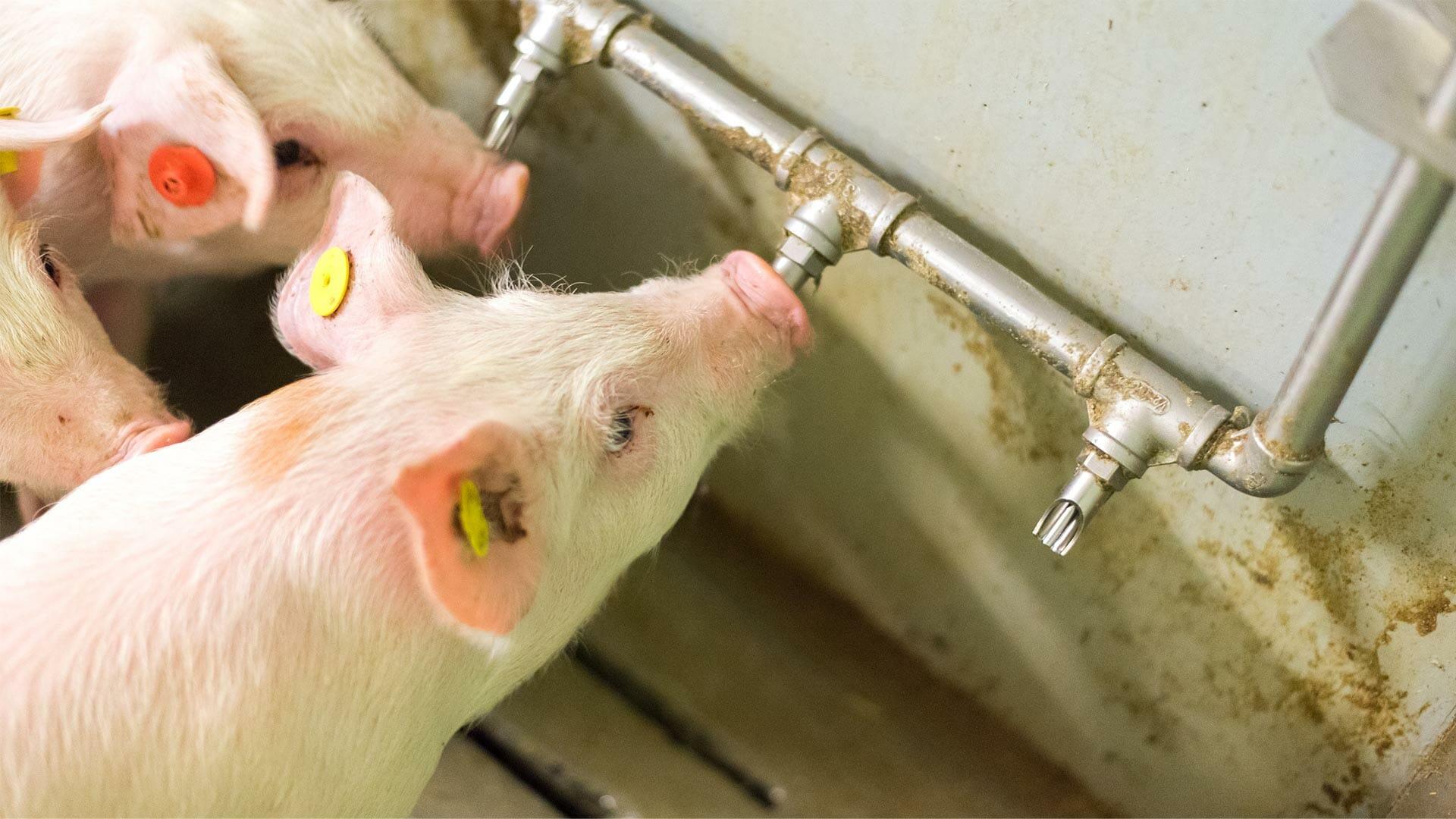 Le stress thermique en élevage porcin