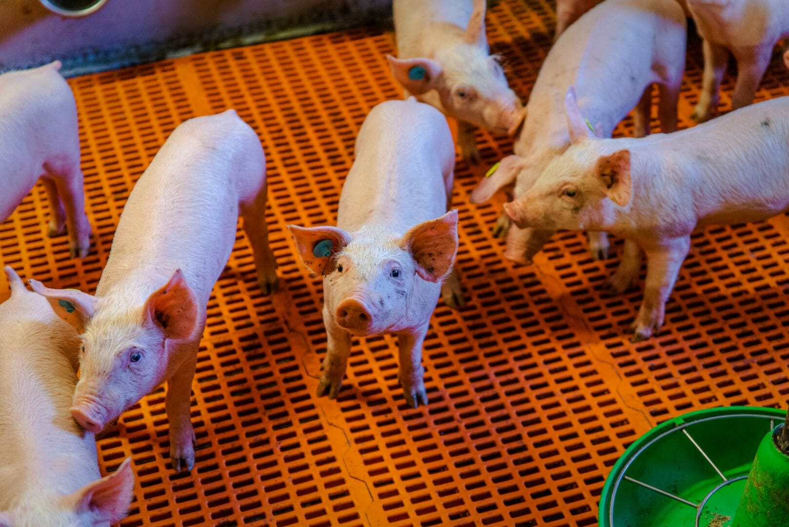 "Agrifirm and MS Schippers are joining forces for ""tomorrow's piglet"""
