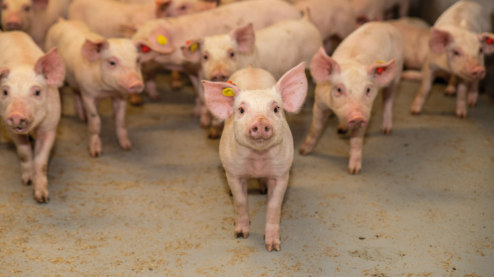 HyCare results in technical and economic benefits for pig business