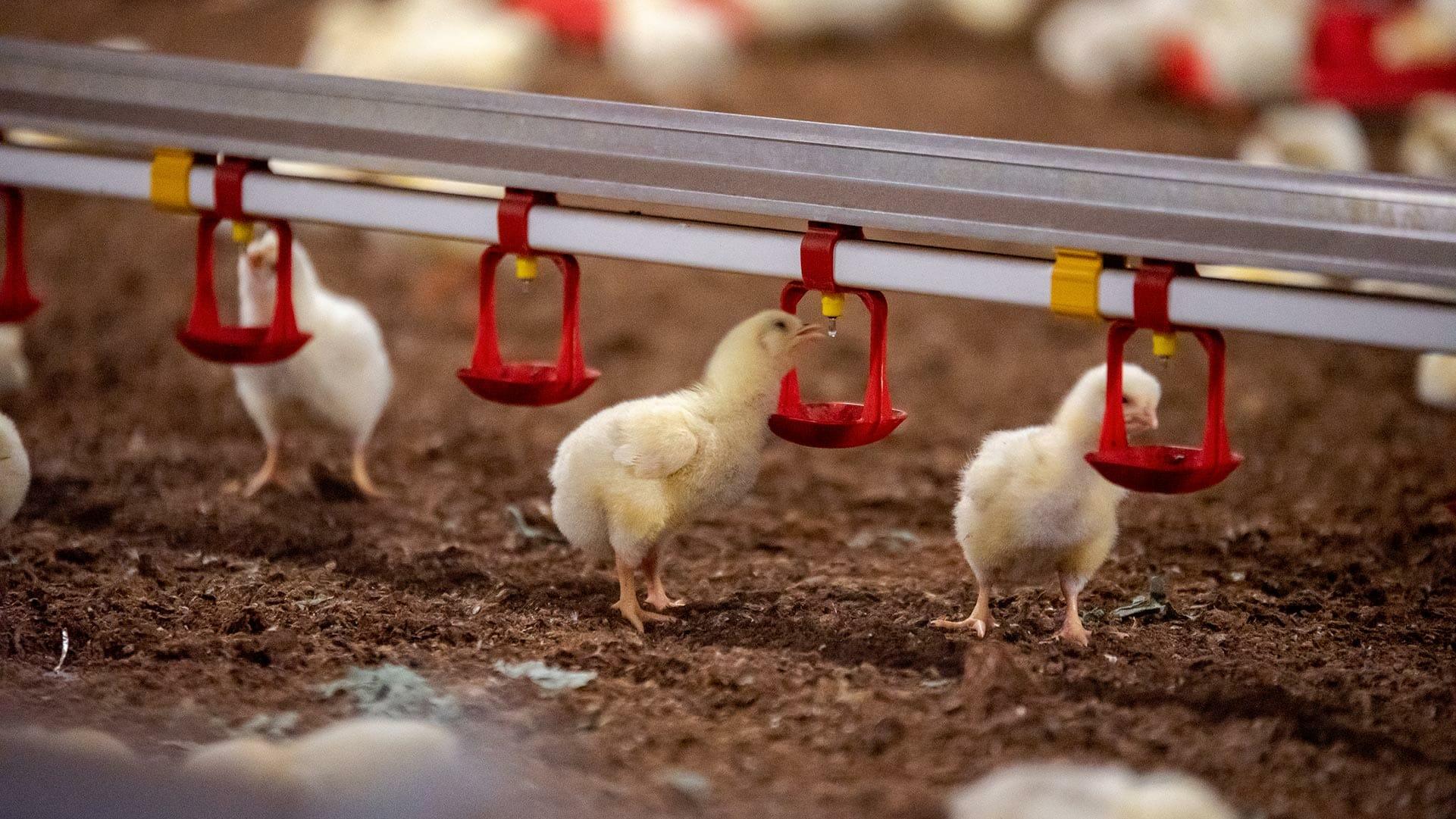 Le stress thermique en élevage avicole
