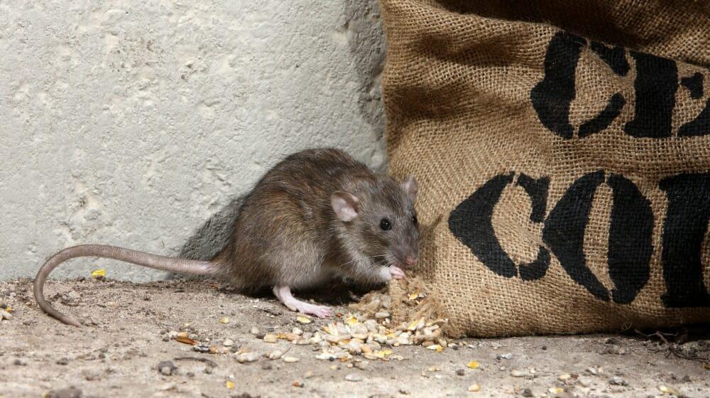Lutte contre les rats et les souris
