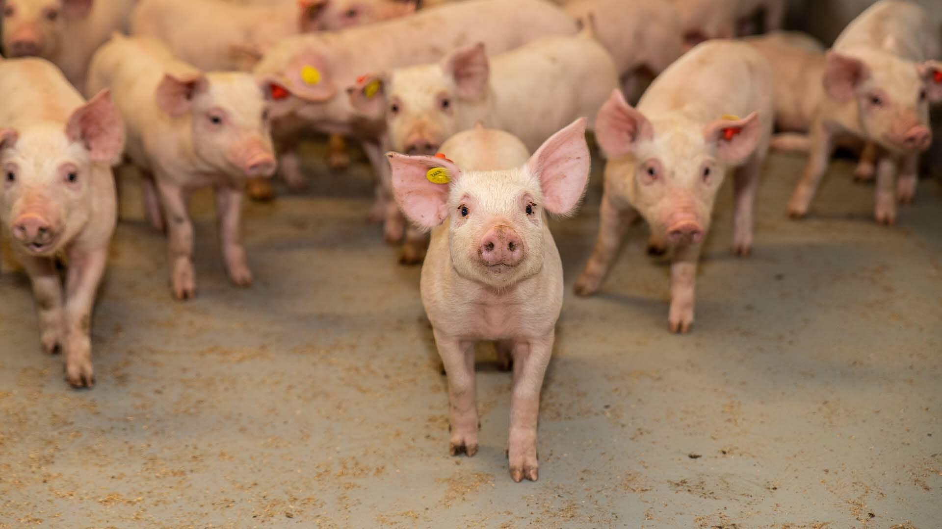 Anders denken over optimale varkensvoeding