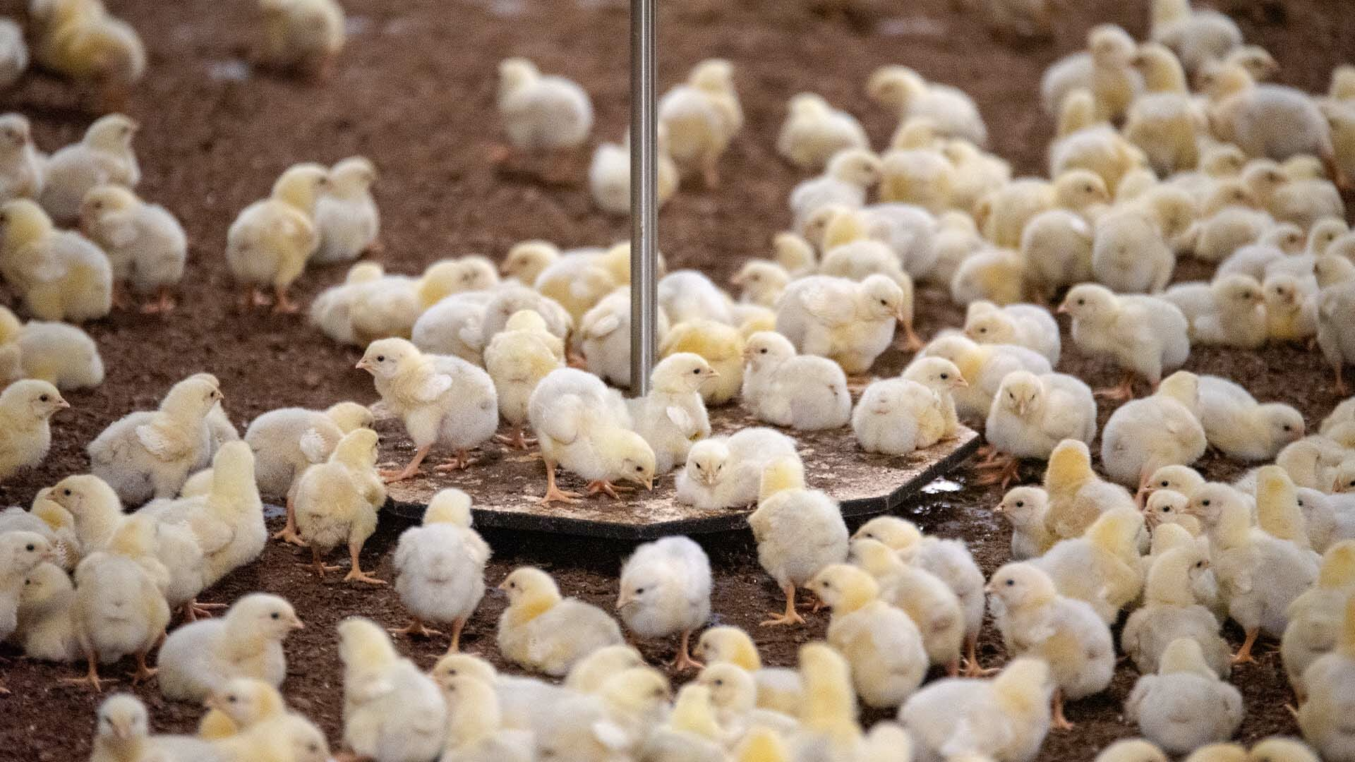 poultry-header-_0003_Header_slider