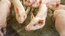 Ongediertevrije stallen voor varkens